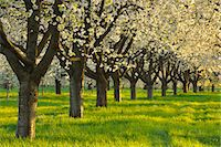 Row of Blossom Cherry Trees Stock Photo - Premium Royalty-Freenull, Code: 6106-06308958