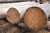 Eastern White Pine Tree logs Stock Photo - Premium Royalty-Freenull, Code: 614-06311726