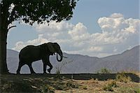 African elephant bull and sausage tree, Mana Pools, Zimbabwe Stock Photo - Premium Royalty-Freenull, Code: 614-06311831