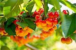 Cherries on tree Stock Photo - Premium Royalty-Free, Artist: Aflo Relax, Code: 614-06311854