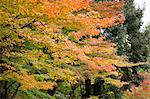 Maple trees, Kinkakuji temple, Kyoto, Japan Stock Photo - Premium Rights-Managed, Artist: Oriental Touch, Code: 855-06314395