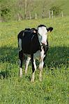 Cow in pasture Stock Photo - Premium Royalty-Free, Artist: Cultura RM, Code: 633-06322227