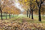 Walnut grove in autumn Stock Photo - Premium Royalty-Free, Artist: Robert Harding Images, Code: 633-06322275
