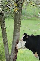 Cow beside tree in pasture Stock Photo - Premium Royalty-Freenull, Code: 633-06322359