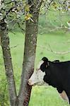 Cow beside tree in pasture Stock Photo - Premium Royalty-Free, Artist: Christina Handley, Code: 633-06322359