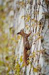 Squirrel climbing on wall Stock Photo - Premium Royalty-Free, Artist: Robert Harding Images, Code: 633-06322524