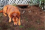 Dog Lying Next to Hole in Garden Stock Photo - Premium Rights-Managed, Artist: Mick Ritzel, Code: 700-06325460