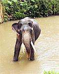 The Indian elephant standing in the river, Sri Lanka Stock Photo - Royalty-Free, Artist: nazzu                         , Code: 400-06331336
