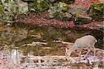 Sika deer drinking water in a river in autumn Stock Photo - Royalty-Free, Artist: Arrxxx                        , Code: 400-06332677