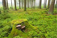 fungus - Tree Stump in Spruce Forest, Odenwald, Hesse, Germany Stock Photo - Premium Royalty-Freenull, Code: 600-06334262