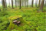 Tree Stump in Spruce Forest, Odenwald, Hesse, Germany Stock Photo - Premium Royalty-Free, Artist: Michael Breuer, Code: 600-06334262