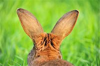 Hare, Bavaria, Germany Stock Photo - Premium Royalty-Freenull, Code: 600-06334479