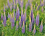 Lupins, Gunzenhausen, Weissenburg-Gunzenhausen, Bavaria, Germany Stock Photo - Premium Royalty-Free, Artist: Raimund Linke, Code: 600-06334481