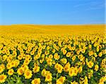 Sunflower Field, Arnstein, Main-Spessart, Franconia, Bavaria, Germany Stock Photo - Premium Royalty-Free, Artist: Raimund Linke, Code: 600-06334491