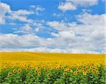 Sunflower Field, Arnstein, Main-Spessart, Franconia, Bavaria, Germany Stock Photo - Premium Royalty-Free, Artist: Raimund Linke, Code: 600-06334494