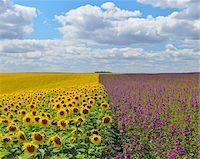 Sunflower and Mallow Field, Arnstein, Main-Spessart, Franconia, Bavaria, Germany Stock Photo - Premium Royalty-Freenull, Code: 600-06334496