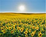 Sunflower Field, Arnstein, Main-Spessart, Franconia, Bavaria, Germany Stock Photo - Premium Royalty-Free, Artist: Raimund Linke, Code: 600-06334501