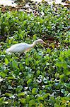 Little Egret hunting on floating weed Stock Photo - Premium Royalty-Free, Artist: Jeremy Woodhouse, Code: 6106-06335275