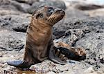 Galapagos Sea Lion, Zalophus wollebaeki Stock Photo - Premium Royalty-Freenull, Code: 6106-06335757