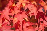 Autumn maples, Kyoto, Japan Stock Photo - Premium Rights-Managed, Artist: Oriental Touch, Code: 855-06337953