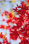 Autumn maples, Kyoto, Japan Stock Photo - Premium Rights-Managed, Artist: Oriental Touch, Code: 855-06338031