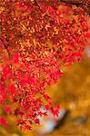 Autumn maples, Kyoto, Japan Stock Photo - Premium Rights-Managed, Artist: Oriental Touch, Code: 855-06338067