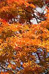 Autumn maples, Kyoto, Japan Stock Photo - Premium Rights-Managed, Artist: Oriental Touch, Code: 855-06338091