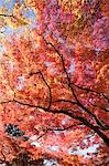 Autumn maples, Kyoto, Japan Stock Photo - Premium Rights-Managed, Artist: Oriental Touch, Code: 855-06338139