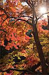 Autumn maples, Kyoto, Japan Stock Photo - Premium Rights-Managed, Artist: Oriental Touch, Code: 855-06338151