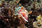 Undescribed chromodoris sp 7 nudibranch, Philippines, Southeast Asia, Asia Stock Photo - Premium Rights-Managed, Artist: Robert Harding Images, Code: 841-06340919