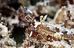 Pteraeolidia ianthina nudibranch, grows to 150mm, subtropical Indo-west Pacific waters, Philippines, Southeast Asia, Asia Stock Photo - Premium Rights-Managed, Artist: Robert Harding Images, Code: 841-06340959