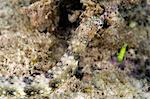 Reeftop pipefish (Corythoichthys haematopterus), grows to 18cm, Indo-west Pacific waters, Philippines, Southeast Asia, Asia Stock Photo - Premium Rights-Managed, Artist: Robert Harding Images, Code: 841-06340967