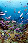 School of creole wrasse (Clepticus parrae), St. Lucia, West Indies, Caribbean, Central America Stock Photo - Premium Rights-Managed, Artist: Robert Harding Images, Code: 841-06340973