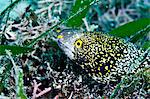 Starry moray eel (Echidna nebulosa), grows to 50cm, Philippines, Southeast Asia, Asia Stock Photo - Premium Rights-Managed, Artist: Robert Harding Images, Code: 841-06340988