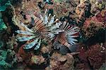 Lionfish (Pterois volitans), Roatan, Bay Islands, Honduras, Caribbean, Central America Stock Photo - Premium Rights-Managed, Artist: Robert Harding Images, Code: 841-06341075