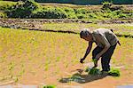 Rice paddy field worker from the Lahu tribe planting rice in rice paddies near Chiang Rai, Thailand, Southeast Asia, Asia Stock Photo - Premium Rights-Managed, Artist: Robert Harding Images, Code: 841-06341123