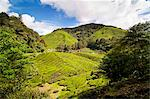 BOH tea plantation, Cameron Highlands, Malaysia, Southeast Asia, Asia Stock Photo - Premium Rights-Managed, Artist: Robert Harding Images, Code: 841-06341165