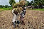 Farmers harvesting ripe rice, Koch Bihar, West Bengal, India, Asia Stock Photo - Premium Rights-Managed, Artist: Robert Harding Images, Code: 841-06341762