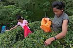Women plucking tea, Fikkal, Nepal, Asia Stock Photo - Premium Rights-Managed, Artist: Robert Harding Images, Code: 841-06341766