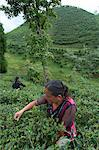 Women plucking tea, Fikkal, Nepal, Asia Stock Photo - Premium Rights-Managed, Artist: Robert Harding Images, Code: 841-06341767