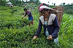 Women plucking tea, Fikkal, Nepal, Asia Stock Photo - Premium Rights-Managed, Artist: Robert Harding Images, Code: 841-06341770