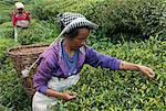 Women plucking tea, Fikkal, Nepal, Asia Stock Photo - Premium Rights-Managed, Artist: Robert Harding Images, Code: 841-06341772