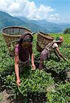 Tea plucking in the Annapurna area, Lwang. Pokhara, Nepal, Asia Stock Photo - Premium Rights-Managed, Artist: Robert Harding Images, Code: 841-06341774
