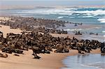 Cape fur seal (Arctocephalus pusilus), Skeleton Coast National Park, Namibia, Africa Stock Photo - Premium Rights-Managed, Artist: Robert Harding Images, Code: 841-06342251
