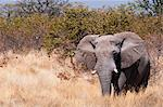 African elephant (Loxodonta africana), Etosha National Park, Namibia, Africa Stock Photo - Premium Rights-Managed, Artist: Robert Harding Images, Code: 841-06342270