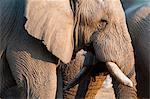 African elephant (Loxodonta africana), Etosha National Park, Namibia, Africa Stock Photo - Premium Rights-Managed, Artist: Robert Harding Images, Code: 841-06342279