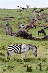 Common zebra (Equus quagga), Masai Mara, Kenya, East Africa, Africa Stock Photo - Premium Rights-Managed, Artist: Robert Harding Images, Code: 841-06342293