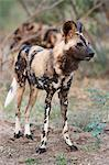 African wild dog (Lycaon pictus), Kruger National Park, South Africa, Africa Stock Photo - Premium Rights-Managed, Artist: Robert Harding Images, Code: 841-06342371