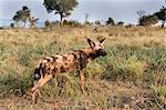 African wild dog (Lycaon pictus), Kruger National Park, South Africa, Africa Stock Photo - Premium Rights-Managed, Artist: Robert Harding Images, Code: 841-06342372