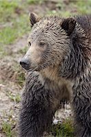 Grizzly bear (Ursus arctos horribilis), Yellowstone National Park, Wyoming, United States of America, North America Stock Photo - Premium Rights-Managednull, Code: 841-06342476